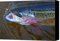 Flyfishing Canvas Prints - Rainbow Trout 3 Canvas Print by Thomas Young