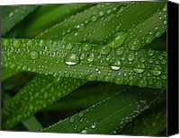 Raining Canvas Prints - Raindrops on Green Leaves Canvas Print by Carol Groenen
