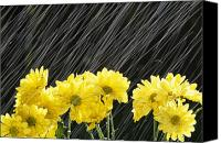 Raining Canvas Prints - Raining On Yellow Daisies Canvas Print by Natural Selection Craig Tuttle