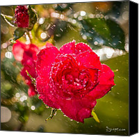 Rain Canvas Prints - Rainy Rose. #flowers #rain #photos Canvas Print by Adam Romanowicz
