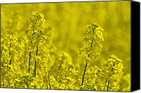 Rape Canvas Prints - Rapeseed Blossoms Canvas Print by Melanie Viola