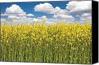 Rapeseed Canvas Prints - Rapeseed fields Canvas Print by Gabriela Insuratelu