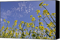 Scenic Digital Art Canvas Prints - Rapeseed Canvas Print by Melanie Viola