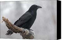 Perch Canvas Prints - Raven in Profile Canvas Print by Tim Grams