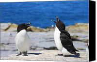 Razorbill Photo Canvas Prints - Razorbills Calling on Island Canvas Print by John Burk
