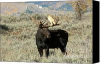 Bull Moose Canvas Prints - Ready And Waiting Canvas Print by Sandra Bronstein