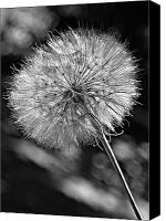 Tragopogon Dubius Scop Canvas Prints - Ready For Flight bw Canvas Print by Steve Harrington