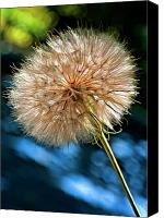 Tragopogon Dubius Scop Canvas Prints - Ready For Flight paint Canvas Print by Steve Harrington