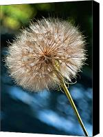 Tragopogon Dubius Scop Canvas Prints - Ready For Flight Canvas Print by Steve Harrington