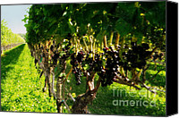Grapeleaves Canvas Prints - Ready For Harvest Canvas Print by Gladys Steele