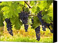 Blue Grapes Canvas Prints - Ready for Harvest Canvas Print by Marion McCristall