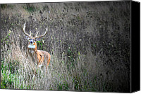 Whitetail Buck Canvas Prints - Ready For Rut Canvas Print by Emily Stauring