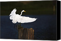 Roost Canvas Prints - Ready to Roost Canvas Print by Cecil Fuselier