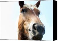 Horse Digital Art Canvas Prints - Really Canvas Print by Amanda Barcon