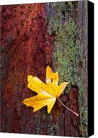 Maple Canvas Prints - Reclamation Canvas Print by Mike  Dawson