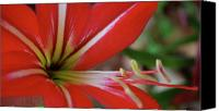 Macro Canvas Prints - Red and White Canvas Print by Kimberly Gonzales