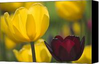 Two Red Tulips Canvas Prints - Red and Yellow Tulips Canvas Print by Kenn Willard
