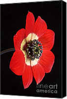 Natural History Canvas Prints - Red Anemone Canvas Print by Richard Garvey-Williams