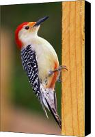 Woodpecker Canvas Prints - Red Bellied on Post Canvas Print by Alan Lenk