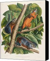 Squirrel Painting Canvas Prints - Red Bellied Squirrel  Canvas Print by John James Audubon