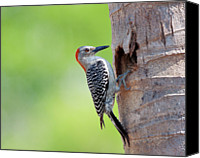 Woodpecker Canvas Prints - Red-bellied Woodpecker Canvas Print by Guillermo Armenteros, Dominican Republic.