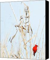 Red Pyrography Canvas Prints - Red Bird in Canes Canvas Print by William Gilroy