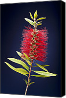 Bottle Brush Photo Canvas Prints - Red Brush Canvas Print by Kelley King