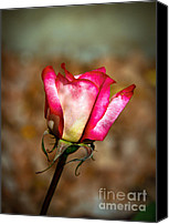 Rose Photography Canvas Prints - Red Bud Canvas Print by Robert Bales