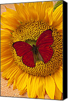 Insects Canvas Prints - Red Butterfly On Sunflower Canvas Print by Garry Gay