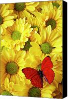 Yellow Canvas Prints - Red butterfly on yellow mums Canvas Print by Garry Gay