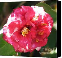 Camelia Canvas Prints - Red Camelia Canvas Print by Therese Alcorn