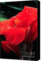 Canna Canvas Prints - Red canna with raindrops Canvas Print by Mike Nellums