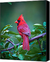 Wildlife Glass Special Promotions - Red Cardinal on Branch Canvas Print by Jiayin Ma
