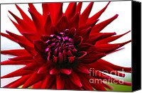 With Photo Canvas Prints - Red Dahlia Opening Canvas Print by Kaye Menner