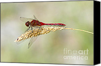 Meadowhawk Canvas Prints - Red Dragonfly Canvas Print by Sharon  Talson