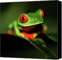 Animal Photo Canvas Prints - Red Eye Green Frog Canvas Print by Wildlife Cosmos