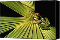 Red-eyed Frogs Canvas Prints - Red-eyed Tree Frog In Costa Rica Canvas Print by Roy Toft