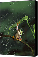 Fun Frog Canvas Prints - Red-eyed Tree Frog In The Rain Canvas Print by Michael Durham