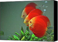 Animals Canvas Prints - Red Fish Canvas Print by Vietnam