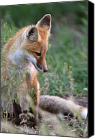 Saskatchewan Canvas Prints - Red Fox pup outside its den Canvas Print by Mark Duffy