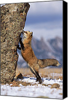 Color Stretching Canvas Prints - Red Fox Vulpes Vulpes Smelling Rock Canvas Print by Konrad Wothe