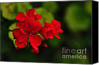 Red And Green Canvas Prints - Red Geranium Canvas Print by Kaye Menner