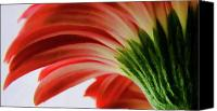 Red And Green Canvas Prints - Red Gerbera Canvas Print by Tony Grider