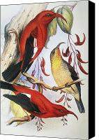 Hawaiian Vintage Art Canvas Prints - Red Hawaiian Honeycreeper Canvas Print by Hawaiian Legacy Archive - Printscapes