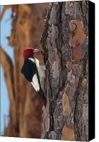 Woodpecker Canvas Prints - Red Headed Woodpecker Canvas Print by Rich Leighton