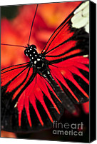 Antenna Canvas Prints - Red heliconius dora butterfly Canvas Print by Elena Elisseeva