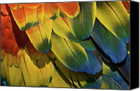 Parrot Canvas Prints - Red Macaw Parrot Feathers Canvas Print by Gavin Chapman
