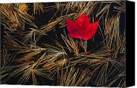 Maple Leafs Canvas Prints - Red Maple Leaf On Pine Needles In Pool Canvas Print by Mike Grandmailson