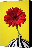 Chrysanthemums  Canvas Prints - Red mum against yellow background Canvas Print by Garry Gay