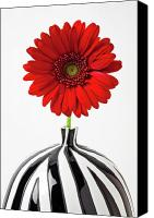 Chrysanthemums  Canvas Prints - Red mum in striped vase Canvas Print by Garry Gay